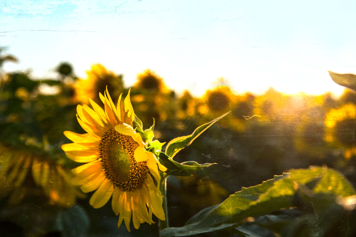 Field of Sunflowers - Blenheim, ON